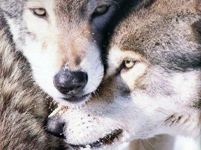wolves-love